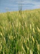 ヂュラム小麦